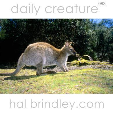 Red-necked Wallaby (Macropus rufogriseus) Lake St. Clair National Park, Tasmania, Australia