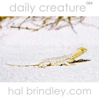 Bleached Earless Lizard (Holbrookia maculata ruthvenii), male with dark spots on side of belly. White Sands National Monument, New Mexico, USA