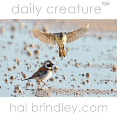 Cape Sparrow (Passer melanurus) bathing & drinking in a puddle in the Kalahari Desert, Kgalagadi Transfrontier Park, South Africa.