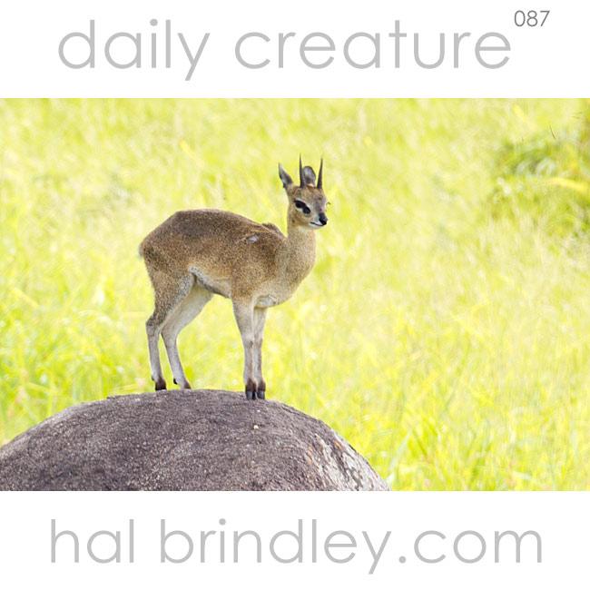 Klipspringer (Oreotragus oreotragus) standing on top of a rock in northern Kruger National Park, South Africa