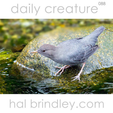 American Dipper (Cinclus mexicanus) in a stream in Ucluelet, Vancouver Island. British Columbia, Canada.