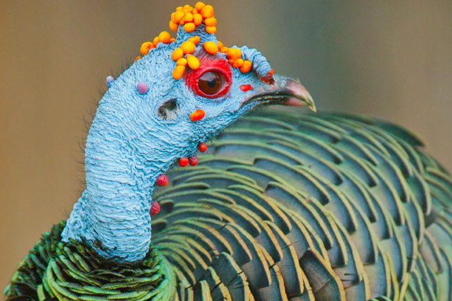 Ocellated Turkey (Meleagris ocellata)Photographed in Tikal National Park, Guatemala.