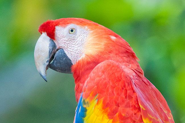Scarlet Macaw (Ara macao) Photographed at the Copán Maya ruins in Honduras.