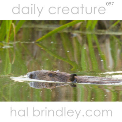 North American Beaver swimming. (Castor canadensis) Photographed in Duck Mountain Provincial Park, Manitoba, Canada.