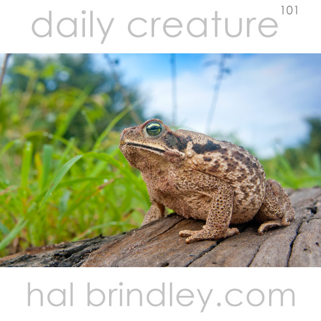 Cane Toad (Rhinella marina) Photographed in Palmital, Brazil.