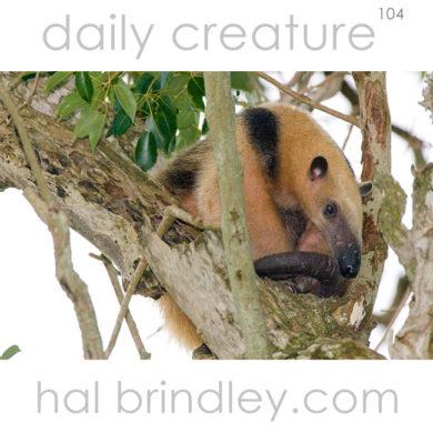Southern Tamandua (Tamandua tetradactyla) sleeping in a tree. Photographed in the Pantanal, Brazil