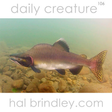 "(Oncorhynchus gorbuscha) Male Pink Salmon (""humpie"") in spawning phase, photographed in the Atnarko River, Tweedsmuir Provincial Park, British Columbia, Canada."