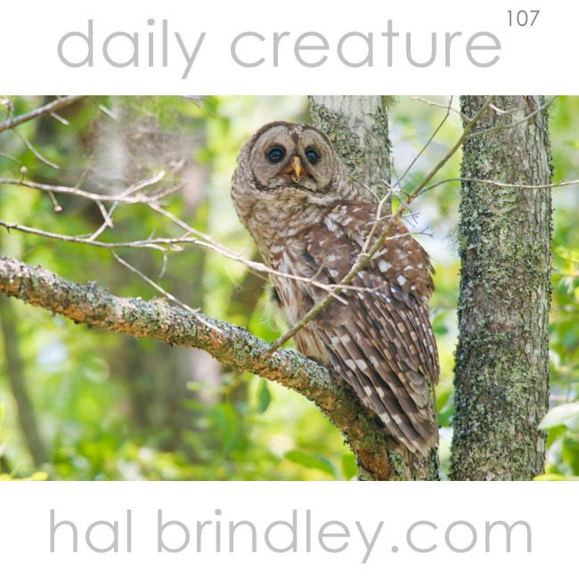 Barred Owl (Strix varia) photographed in a tree in the Alligator River National Wildlife Refuge in North Carolina, USA.