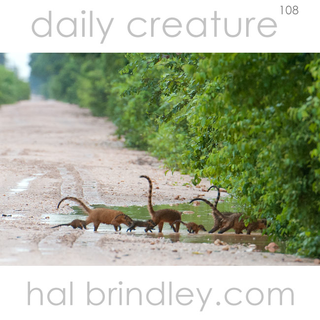 Family of South American Coatis (Nasua nasua) crossing the Transpantaneira in the Pantanal, Brazil.