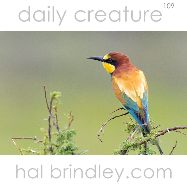European Bee-Eater (Merops apiaster) photographed in Etosha National Park, Namibia.
