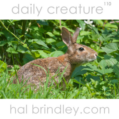 Eastern Cottontail (Sylvilagus floridanus) photographed in Asheville, North Carolina, USA