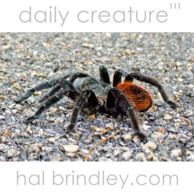 Mexican Red Rump Tarantula (Brachypelma vagans) crossing the road in the Calakmul Biosphere Reserve in the Yucatan Peninsula of Mexico.