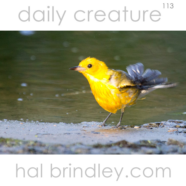 Prothonotory Warbler (Protonotaria citrea) taking a bath in the Alligator River National Wildlife Refuge in North Carolina, USA.