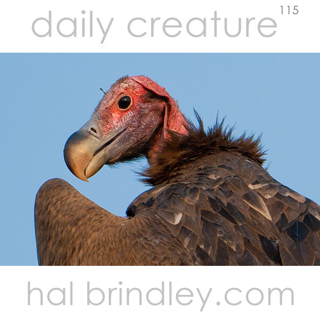 Lappet-Faced Vulture (Torgos tracheliotos) photographed in Chobe National Park, Botswana
