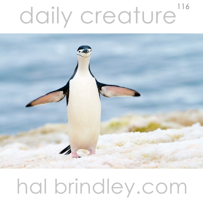 Chinstrap Penguin (Pygoscelis antarcticus)Photographed on Booth Island, Antarctic Peninsula, Antarctica.