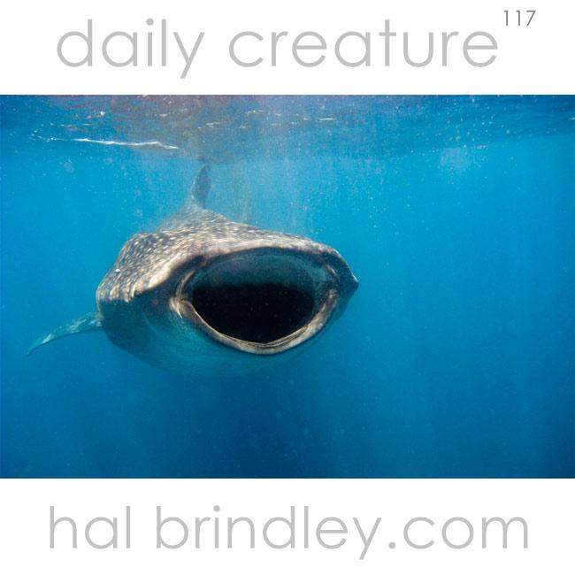 Whale Shark (Rhincodon typus) photographed near Isla Mujeres, Yucatan Peninsula, Mexico