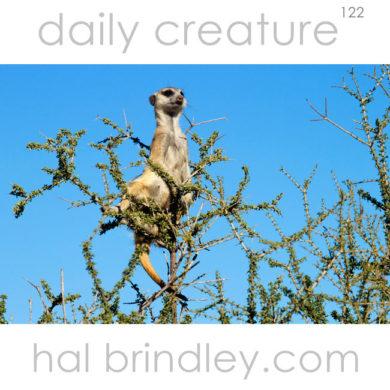 Meerkat (aka Suricate) (Suricata suricatta) standing lookout in a tree. Kgalagadi Transfrontier Park, Kalahari Desert, South Africa.