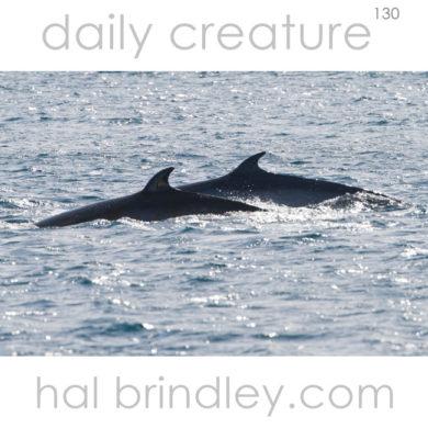 Anatarctic Minke Whale (Balaenoptera bonaerensis) Penola Strait, Antarctica.