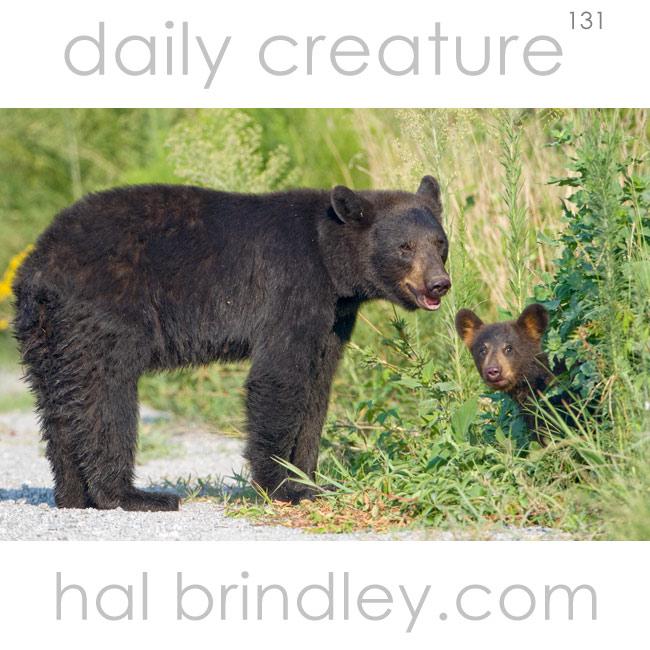American Black Bear (Ursus americanus) Mother and cub, photographed in the Alligator River National Wildlife Refuge, North Carolina, USA.