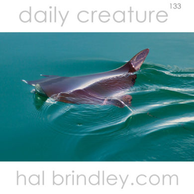 Reef Manta Ray (Manta alfredi) Photographed in the Golfo Dulce, Osa Peninsula, Costa Rica.