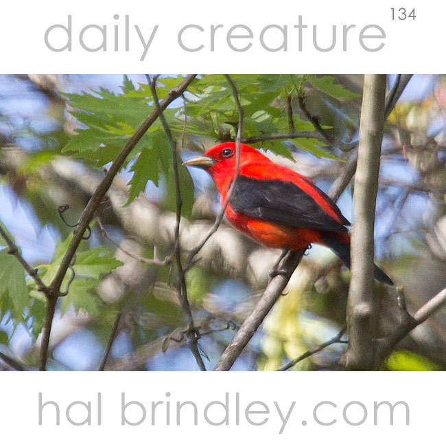 Scarlet Tanager (Piranga olivacea) male, photographed in Asheville, North Carolina, USA.