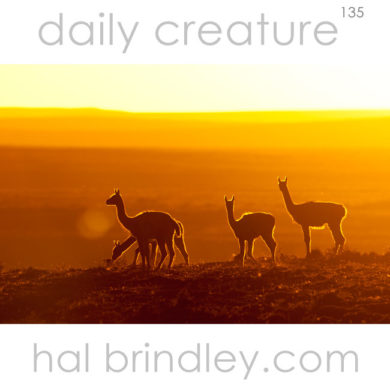Guanaco (Lama guanicoe) silhouettes at sunset. Photographed in Tierra Del Fuego, Chile.