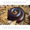 African Giant Millipede (Archispirostreptus gigas?) curled in defensive position in Kgalagadi Transfrontier Park, Kalahari Desert, South Africa