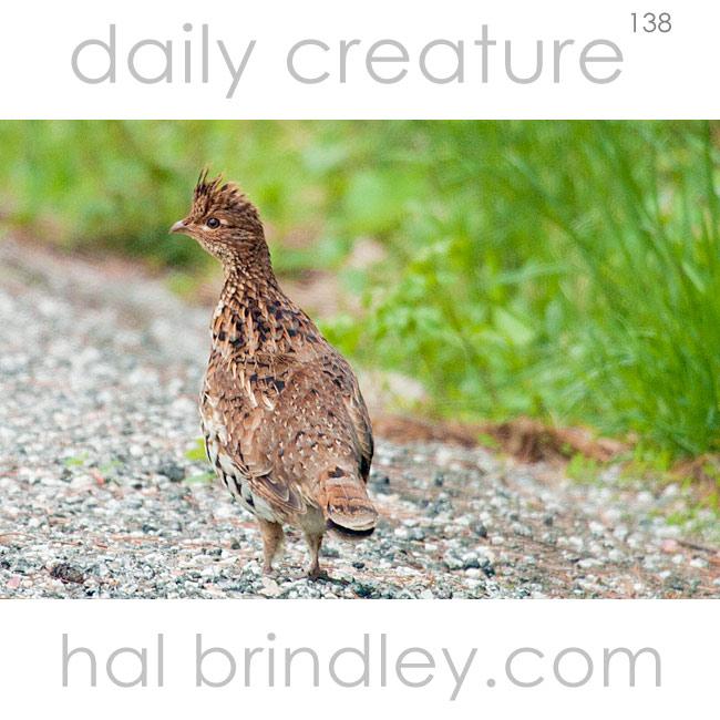 Ruffed Grouse (Bonasa umbellus) Cataloochee Valley, Smoky Mountain National Park, North Carolina, USA.