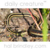 Red-sided Garter Snake (Thamnophis sirtalis parietalis) Photographed in Riding Mountain National Park, Manitoba, Canada.