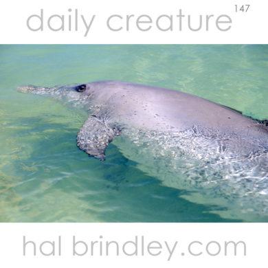 Indo-Pacific Bottlenose Dolphin (Tursiops aduncus) Monkey Mia Reserve, Shark Bay, Western Australia