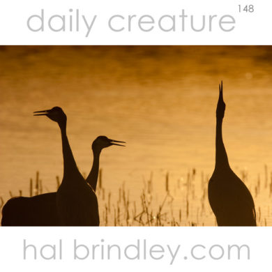 Sandhill Crane (Grus canadensis) silhouettes, photographed in Bosque del Apache National Wildlife Refuge, New Mexico, USA.