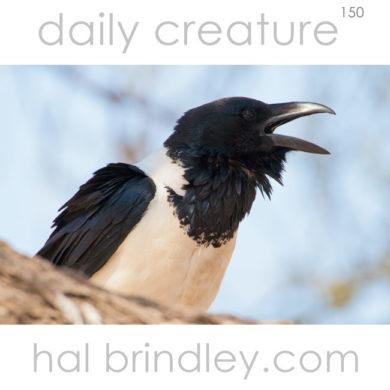 Pied Crow (Corvus albus) photographed in the Central Kalahari Game Reserve, Botswana.
