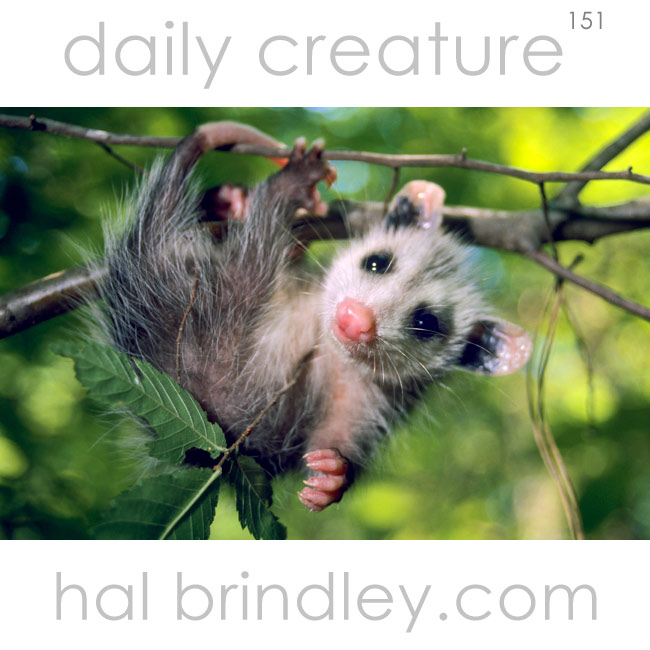 Virginia Opossum (Didelphus virginiana) orphan, patient at wildlife rehabilitation center in Mebane, North Carolina, USA.