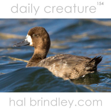 Lesser Scaup (Aythya affinis ) female, swimming in Crystal River, Florida, USA.