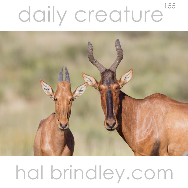 Hartebeest (Alcelaphus buselaphus) Mother and calf. Photographed in Kgalagadi Transfrontier Park, Kalahari Desert, South Africa