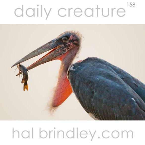 Marabou Stork (Leptoptilos crumeniferus) photographed in Chobe National Park, Botswana.