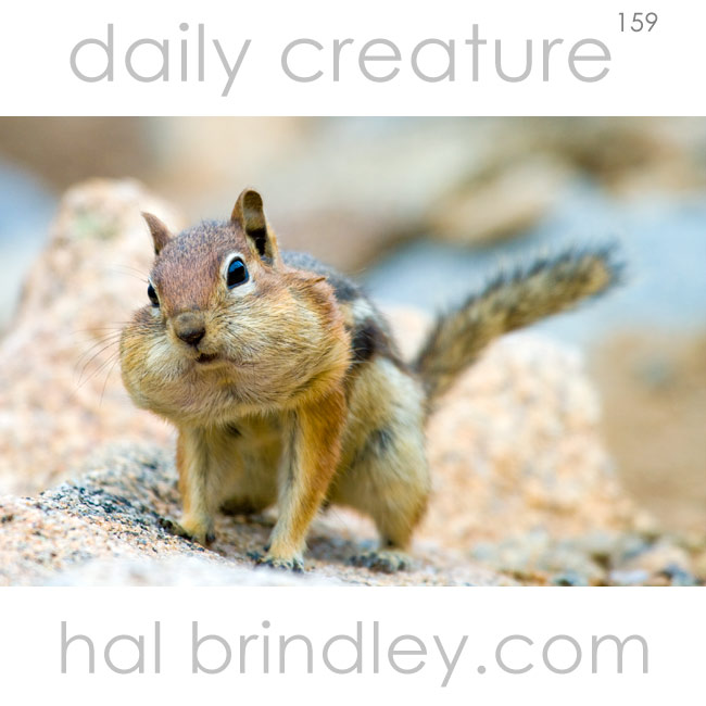 Golden-Mantled Ground Squirrel (Spermophilus lateralis) with full cheeks. photographed in Rocky Mountain National Park, Colorado, USA.