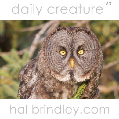 Great Gray Owl (Strix Strix nebulosa) photographed in Duck Mountain Provincial Park, Manitoba, Canada.
