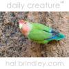 Rosy-Faced Lovebird (Agapornis roseicollis) Spitzkoppe, Namibia.