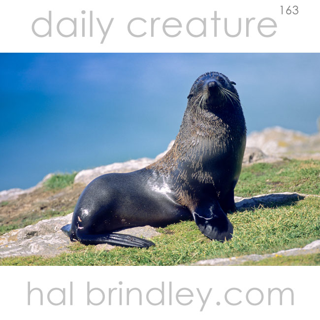 New Zealand Fur Seal (Arctocephalus forsteri) Otago Peninsula, South Island, New Zealand