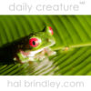 Red-eyed Tree Frog (Agalychnis callidryas) photographed in Carate, Osa Peninsula, Costa Rica