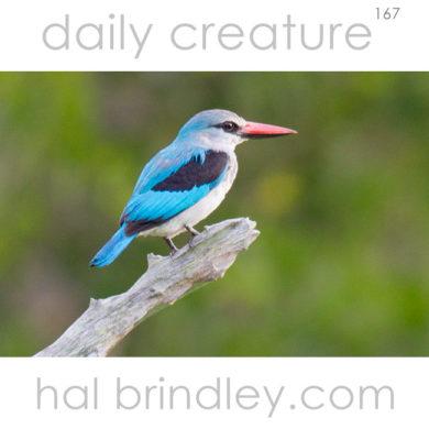 Woodland Kingfisher (Halcyon senegalensis) Kruger National Park, South Africa.