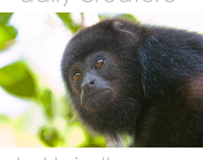 Juvenile Yucatan Black Howler Monkey (Alouatta pigra) Community Baboon Sanctuary, Bermudian Landing, Belize.