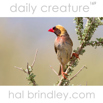 Red-billed Quelea (Quelea quelea) Kgalagadi Transfrontier Park, South Africa.