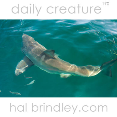 Great White Shark (Carcharodon carcharias) near Dyer Island off coast of South Africa