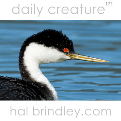 Western Grebe (Aechmophorus occidentalis) Mill Valley, California, USA.