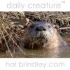 North American River Otter (Lontra canadensis) Alligator River National Wildlife Refuge, North Carolina, USA.