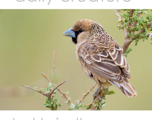 Sociable Weaver (Philetairus socius) Kgalagadi Transfrontier Park, Kalahari Desert, South Africa.
