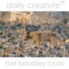 Dingo (Canis lupus dingo) or possible cross with domestic dog? Kakadu National Park, Norhtern Territory, Australia