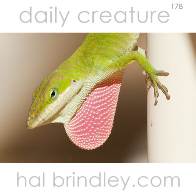 Green Anole (Anolis carolinensis) male with red dewlap extended. Salem, South Carolina, USA